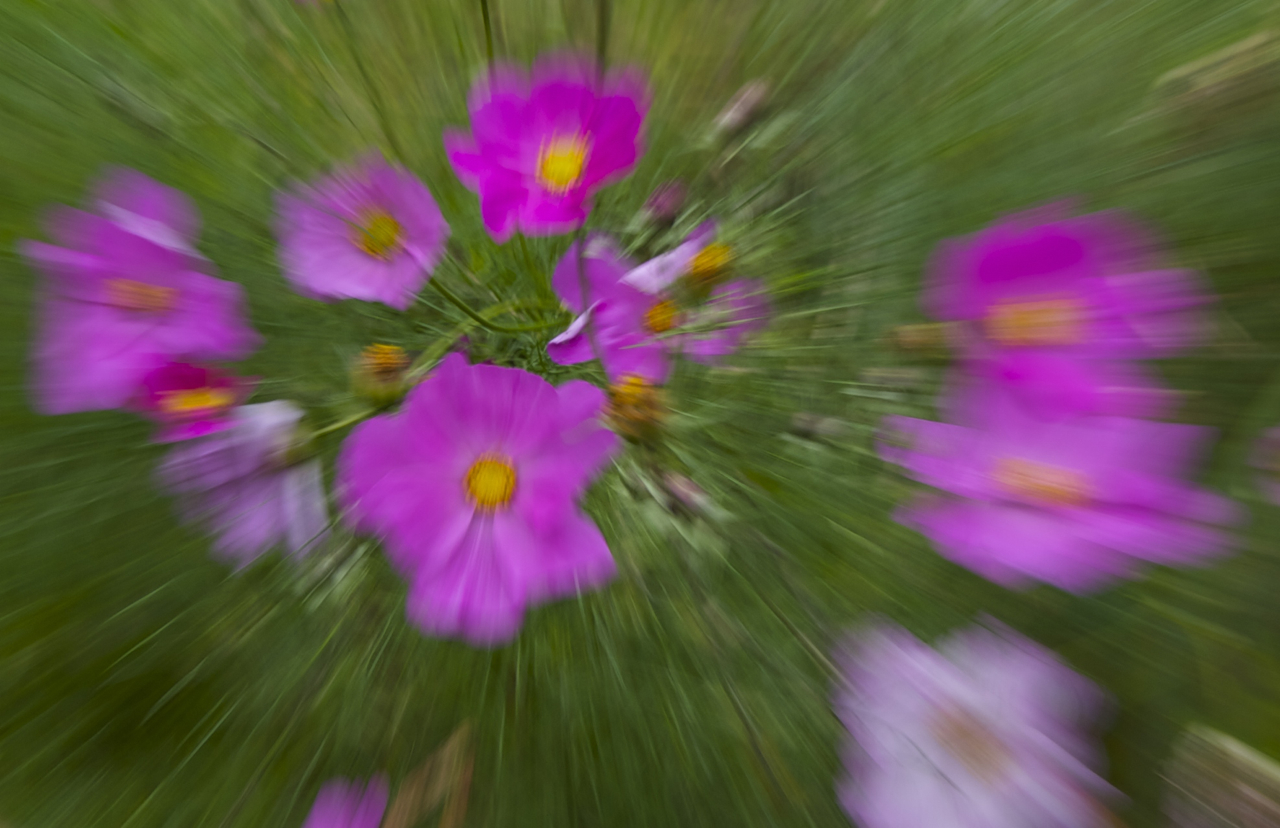 Pink flowers distorted with zoom burst by Beowulf Mayfield