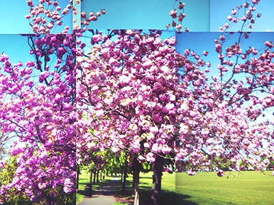 Multiframe picture of tree with pink blossom