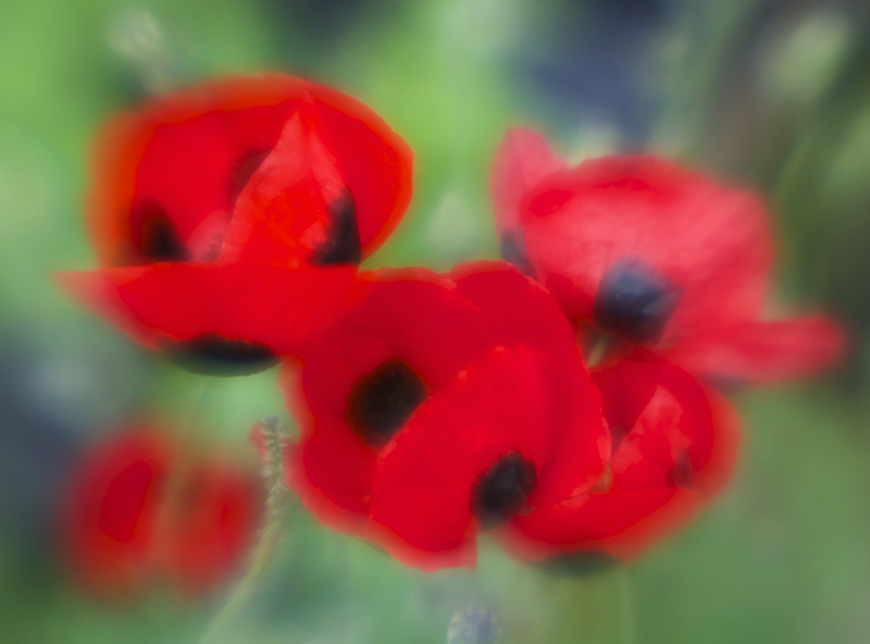 Ladybird poppies photographed by Beowulf Mayfield using a Lensbaby Muse